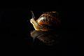 Snail (8805239407).jpg
