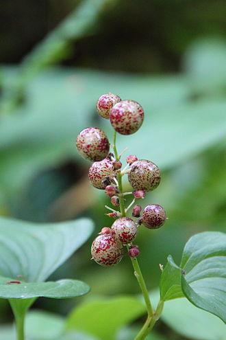 Maianthemum dilatatum - Immature berries of Maianthemum dilatatum