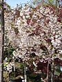 Snow Showers Weeping Cherry plants growing in NJ in April.jpg