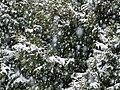 Snow falling on cedars 6.jpg