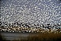 Snow geese (6203886640).jpg