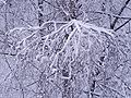 Snowed-in trees20090218 09.jpg