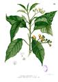 Solanum erianthum Blanco1.86.png