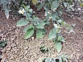 Solanum villosum subsp. alatum sl55.jpg