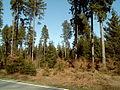 Solling-grosse bloesse fichtenmischwald.jpg