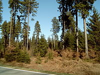 Fichtenmischwald im Hochsolling auf der Großen Blöße