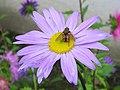 Sommeraster (Callistephus chinensis) (4449709609).jpg