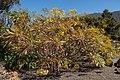 Sonchus palmensis - Jardín Botánico del Centro de Visitantes - El Paso - La Palma.jpg