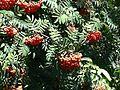 Sorbus aucuparia fruit 4.JPG