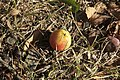 Sorbus domestica - fruit.jpg