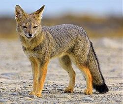 South american grey fox (cropped).jpg