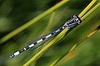 Southern damselfly (Coenagrion mercuriale) male Parsonage Moor.jpg