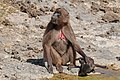 Southern gelada (Theropithecus gelada obscura) female with baby.jpg