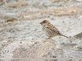 Spanish Sparrow (Passer hispaniolensis) (32106127207).jpg