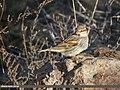 Spanish Sparrow (Passer hispaniolensis) (48088990937).jpg