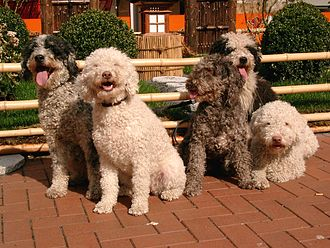 Spanish Water Dog - More colours SWDs can be seen in.