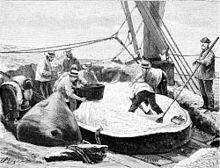 Dessin du pont d'un bateau, avec la tête d'un cachalot découpée. Un homme se tient au milieu du spermaceti de la carcasse charcutée, plusieurs autres s'affairent autour, lui tendant notamment une bassine pour mettre le précieux produit.