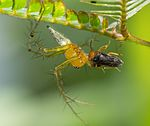 Spider-belonging-to-Oxyopes-genus-feeding-on-an-insect.jpg