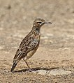 Spike-heeled lark 2018 03 10 13 21 33 3318.jpg