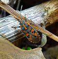 Spilostethus saxatilis. Lygaeidae. - Flickr - gailhampshire (2).jpg
