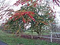 Spindle Tree at Wakehurst Place - geograph.org.uk - 1622312.jpg
