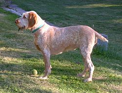 An orange roan spinone italiano.