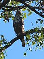 Spizaetus cirrhatus - changeable hawk-eagle.jpg