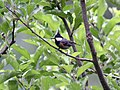 Spot winged Tit- carrying feed for chicks I2 MG 3205.jpg