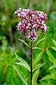 Spotted Joe Pye weed Eutrochium maculatum Baileys Harbor Wisconsin.jpg