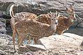 Spotted deer in Ranthambore National Park (4570525517).jpg