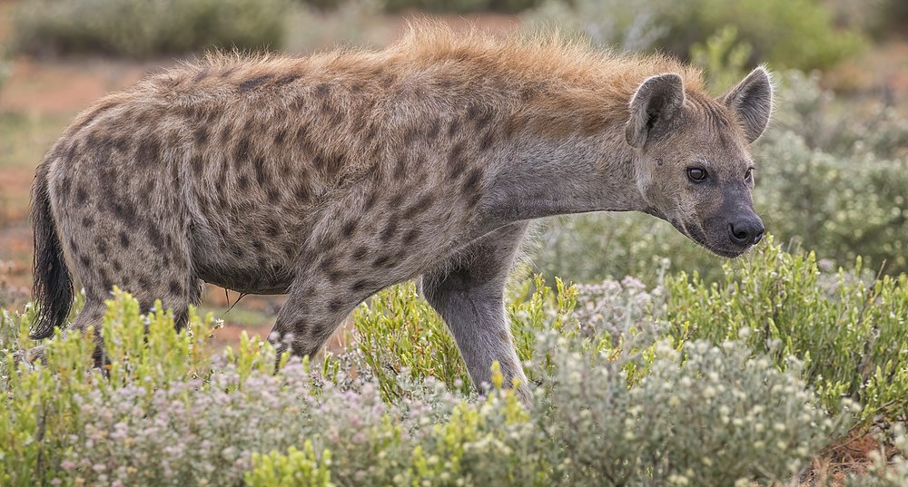 The average adult weight of a Spotted hyena is 63.69 kg (140.4 lbs)