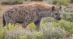 Afrikan villikoira