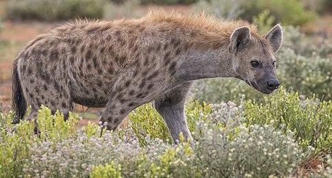 see scan Shadow of hyena mtg