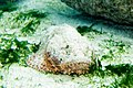 Spotted scorpionfish Scorpaena plumieri (3458474893).jpg