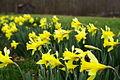 Spring-Daffodils-Barn ForestWander.JPG