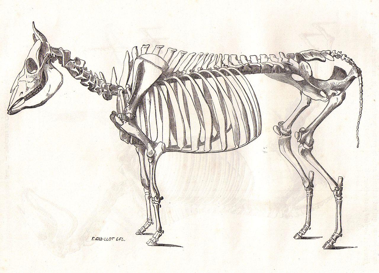 dessin animaux domestiques