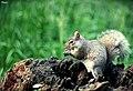 Squirrel - panoramio (2).jpg