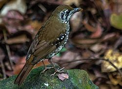 Sri Lanka Spot-winged Thrush.jpg