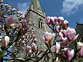 St. Mary's tower and Magnolia flowers - geograph.org.uk - 747040.jpg