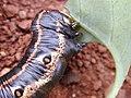 Starr-020124-0040-Nicotiana glauca-Agrius cingulata larva black morph-Kahului-Maui (24546258255).jpg