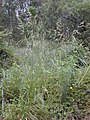 Starr-030418-0034-Bromus diandrus-fruiting habit-Kula-Maui (24262706069).jpg