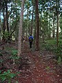 Starr-041214-1538-Cordyline fruticosa-trail building-Makawao Forest Reserve-Maui (24603543702).jpg
