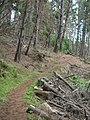 Starr-041221-1762-Pinus radiata-Polipoli trail-Polipoli-Maui (24604007022).jpg