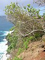 Starr-050405-5889-Schinus terebinthifolius-habitat-Keopuka-Maui (24625205612).jpg