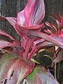 Starr-060916-8979-Cordyline fruticosa-red leaves-Makawao-Maui (24839163796).jpg