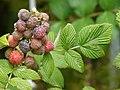 Starr-070621-7484-Rubus niveus-form a fruit and leaves-Upper Kimo Dr Kula-Maui (24796520031).jpg