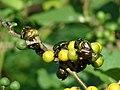 Starr-080601-5125-Solanum torvum-fruit being eaten by emerald beetles-Community garden Sand Island-Midway Atoll (24911428765).jpg