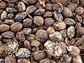 Starr-080607-7243-Terminalia catappa-fruit-Medical clinic Sand Island-Midway Atoll (24915801785).jpg