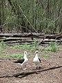Starr-080608-7764-Conyza bonariensis-habit with Laysan albatross-West Beach Sand Island-Midway Atoll (24621766490).jpg