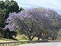 Starr-090513-7527-Jacaranda mimosifolia-flowering habit-Haleakala Hwy Kula-Maui (24324076434).jpg